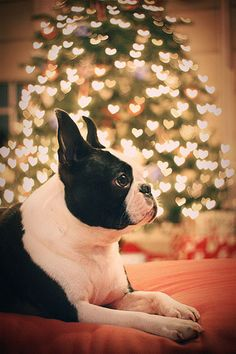 Howie the Boston Terrier Puppy - Christmas Tree Custom Bokeh *Hearts* by kevinandamanda, via Flickr No home of mine is complete without a Boston Terrier!