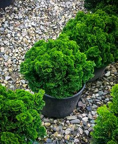 chamaecyparis obtusa nana - Falso ciprés ó Hinoki cypress Season Plants, Hinoki Cypress, Garden Design, Plants, Small Gardens, Dwarf Trees For Landscaping, Evergreen Garden, Plants For Small Gardens, Shrubs For Landscaping