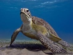 Turtle portre -Red Sea by LiliomToursBrigitta
