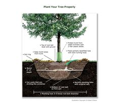 Plant Trees the right way! Great Diagram and website!
