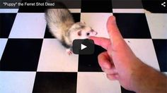 "Captured forever on video is a ferret showing off her ""play dead after being shot"" skills."