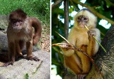 The White Fronted Capuchin is found in central and south America, especially in Paraguay. The monkey gets its name from its white fronted appearance that was said to be like that of the Capuchin monks. They all have 'black cap' on their heads and can reach a length of twenty-two inches. Their main predators are falcons, snakes and cats but they are also killed by humans for meat and because they will eat almost anything including fish and shellfish if they get the opportunity.