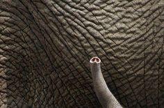 baby elephant trunk | We need to give them back their future. When you like, follow or share IvoryForElephants... on FB, Twitter, Instagram we gain media $$$. #ivoryforelephants #stoppoaching #elephants for #ivory ! #animals #babyelephants #animalbabies #killthetrade