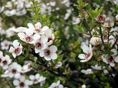 Image result for manuka flowers