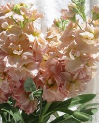 My wedding bouquet was made of simple peach stock flowers...  I <3 these!