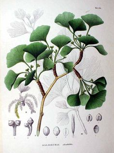 Ginkgo Biloba (σαλιβουρία ή γίνκο το δίλοβο) and also known as the maidenhair tree.