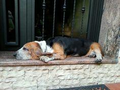 #Bassethound Basset Hound, Dogs, Animals, Animales, Animaux, Pet Dogs, Doggies, Animal, Animais
