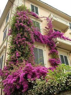 Via Crispi bouganvillea in fiore