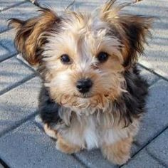 Yorkie poo  I am sooo getting one of these.  :)