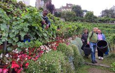 Paris: Vendanges dans la plus petite vigne de France au clos-Montmartre -