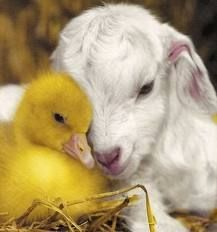 baby animal friends.. I can't hardly wait til our baby goats arrive!