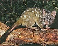 Chudditch is commonly known by two other names, the western quoll and the western native cat.