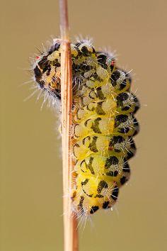 ˚Six-Spot Burnet (Zygaena filipendulae)