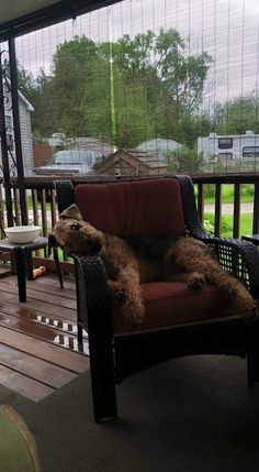 Airedale Sleep Position. ...errhhmm..LOUNGING Position #1. ..!