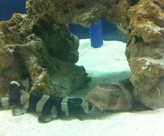 Pictured on the left is a baby Brown Banded Bamboo Shark. Pictured on the right is an adult Brown Banded Bamboo Shark. Aquarium Sharks, Brown Band, Online Courses, Bamboo, Pets, Pictures, Animals, Photos, Animales