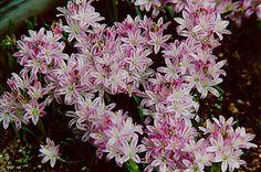 "Polyxena corymbosa; 5-3"", light violet with a purple stripe on each petal"