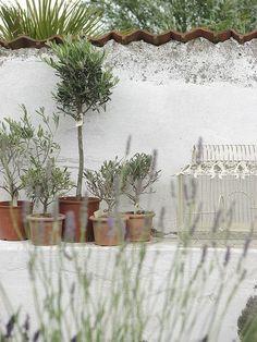 Olive trees + Lavendel