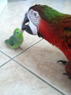 Parrotlet and a Macaw share a kiss. Cute.