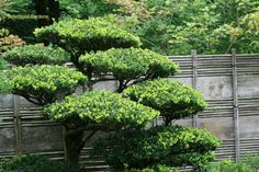 Japanese Trees and Shrubs | Here's another example. This is a popular technique. In Japan I saw ...