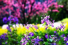 三多気の桜 その1 - 風景写真春秋