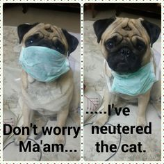 Dr. Pug is on call. (2adorablepugs)