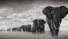 Elefantes Sebastião Salgado's