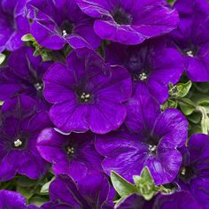 Proven Winners - Supertunia® Trailing Strawberry Pink Veined - Petunia hybrid pink plant details, information and resources. Trailing Petunias, Purple Petunias, Purple Plants, Purple Garden, Colorful Flowers, Purple Flowers, Beautiful Flowers, Container Plants, Container Gardening
