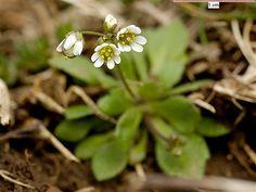 tavaszi ködvirág (Erophila verna) Száraz, laza talajt jelez