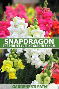 Snapdragon is the perfect addition to cutting gardens. Spiky heads loaded with blossoms add height and structure to flower beds and floral arrangements. Did you know it blooms from the bottom up, for long vase life? Read all about this old-time favorite a Home Flower Arrangements, May Garden, Garden Paths, Garden Front Of House, Antirrhinum, Prairie Garden, Modern Garden Design, Annual Flowers, Flower Quotes