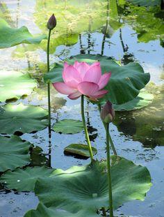 Lotus au Jardin botanique de Montréal. Photo: GenVi Lotus Flower Pictures, Lotus Flower Art, Lotus Art, Water Lilies Painting, Lotus Painting, Lily Painting, Lotus Pond, Lily Pond, Flower Wallpaper