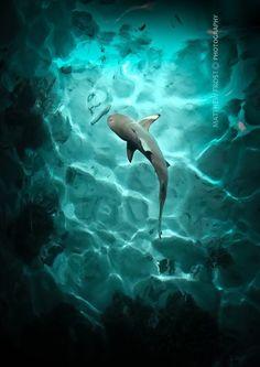 Black Tip Reef Shark byMatthew Frost