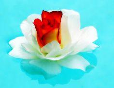 Dream in Color Rose Macro Photography by breathofanangel on Etsy, $15.00