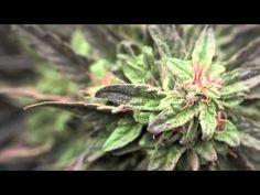 Jorge Cervantes: Jardines de Cannabis Medicinal (subtitulado en español)