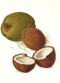 Vintage 1960s Coconut Color Illustration Book Page by niminsshop