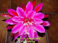 Epiphyllum hybrid 'Candy Man'