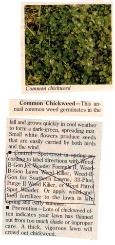 Common Chickweed- Article was intended to help you eradicate weeds from your lawn but every one they discussed was an edible. Thought the general growth season and plant habit info was good to know.
