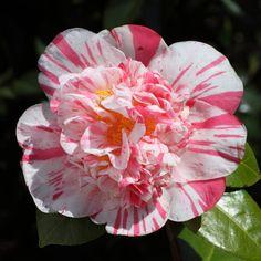 Camellia japonica 'Extravaganza' (U.S., 1957)