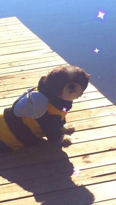 My pupper In a bee costume