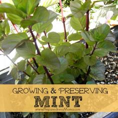Tips for growing and preserving mint. Orange Mint - go to the nursery and ruffle some leaves. Find a mint that you love! Types Of Herbs, Herbs, Growing, Growing Herbs, Medicinal Plants, Plant Care, Food Garden, Container Gardening Vegetables, Mint Plants