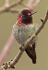 Anna's Hummingbird at Dawsom Creek Park, Hillsboro OR | Gary Witt on flickr