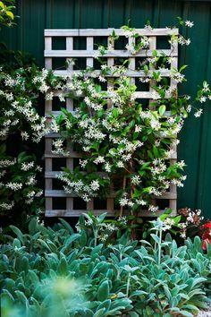 Star jasmine is the best choice for shady fences (Trachelospermum jasminoides). Other shade lovers are climbing hydrangea (Hydrangea petiolaris), creeping fig and ivy. Hydrangea Petiolaris, Climbing Hydrangea, Climbing Vines, Climbing Shade Plants, Climbing Plants Fast Growing, Climbing Plants For Trellis, Climbing Flowering Vines, Evergreen Climbing Plants, Shade Garden Plants