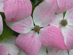 One of my all-time favourite flowering Trees: Cornus kousa var. chinensis pictured in one of my projects in Lancashire & working across the UK from & Landscape Design, Garden Design, Uk Europe, Formal Gardens, Derbyshire, Flowering Trees, Design Projects, Manchester, David