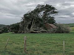 Los despeinados árboles de Slope Point Slope Point es el punto más meridional de la Isla Sur (Nueva Zelanda).  Las corrientes de aire frío...