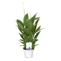 Find Spathiphyllum (Peace Lily) Houseplant - at Homebase. Visit your local store for the widest range of garden & outdoor products. Potted Plants, Indoor Plants, Peace Lily Plant, Ceramic Plant Pots, Herb Pots, Hanging Baskets, Dream Garden, House Plants, Outdoor Gardens