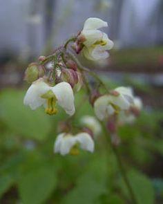 Epimedium pubigerum - Flaumige Elfenblume