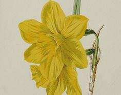 1887 Antique fine lithograph of a DAFFODIL. NARCISSUS. FLOWERS. 126 years old nice print
