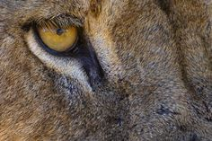 """A close up image of a Lion's eye. Image taken in Kruger National Park in South Africa. This is a crop of the original image. If you would like to join us on an upcoming Photographic Tour please go to : """" The Big Cats """" Tanzania, Delta Del Okavango, Lion Eyes, Eye Images, Kruger National Park, Eye For Detail, Fauna, Big Cats, Predator"""