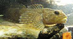 Duża głowa, wyłupiaste oczy i szeroki otwór gębowy. Tak można by krótko opisać jednego z mieszkańców Wieprzówki, największego, lewego dopływu Skawy. Głowacz pręgopłetwy (Cottus poecilopus), bo o nim mowa, zamieszkuje rzeczki, potoki z szybko płynącą, dobrze natlenioną i czystą wodą. Żywi się drobnymi zwierzętami wodnymi, głównie larwami owadów, ale zjada też ikrę i młode innych ryb, za co był tępiony, jako szkodnik.  http://www.malopolska24.pl/index.php/2012/03/szczekajaca-ryba/
