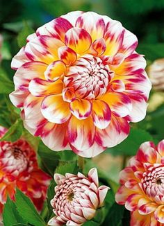 Hawaii Decorative Dahlia - NEW! - White/Yellow/Red - 1 Root Clump