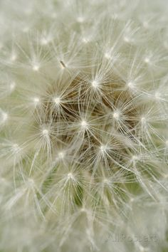 Dandelion Head with Seeds Photographic Print at AllPosters.com